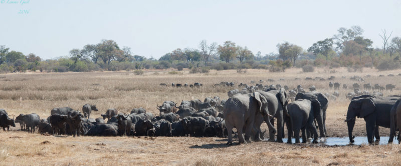 Log pile Hide Returns to Savuti Camp for Epic Dry Season Action
