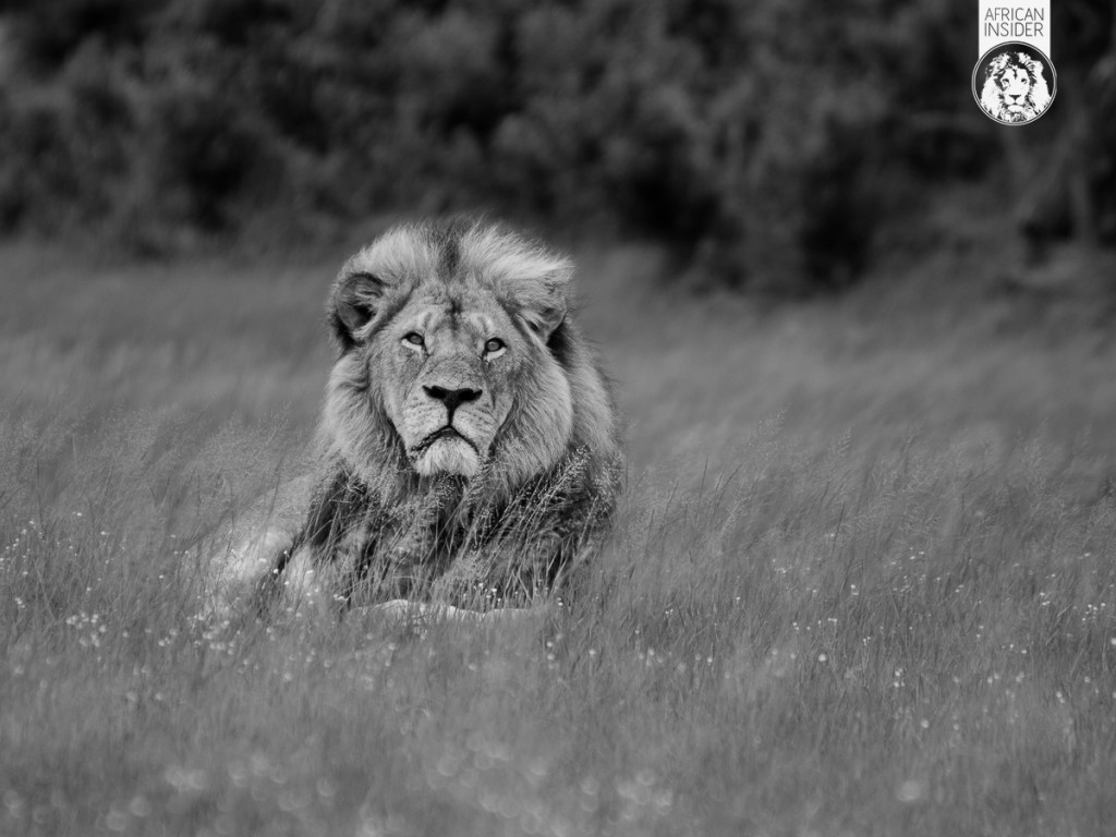 Cecil - The King of Hwange - Lost but never forgotten!