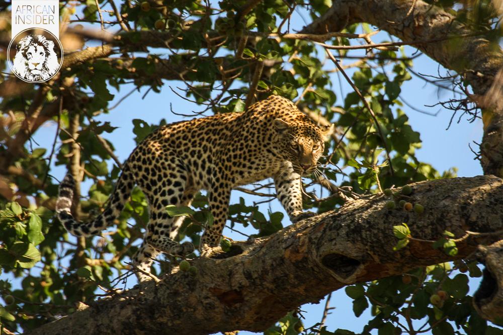Pred Epic Leopard